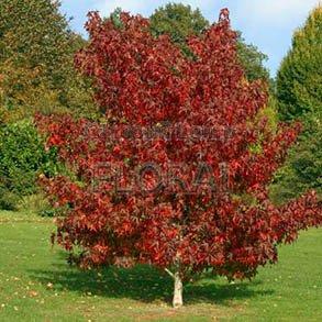 Ликвидамбар смолоносный (Амбровое дерево). Обхват ствола 20/25 см