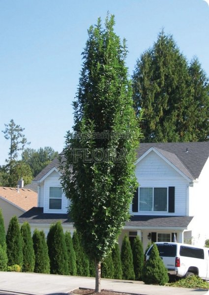Дуб болотный Green Pillar. Высота 300-350 Cм. С65