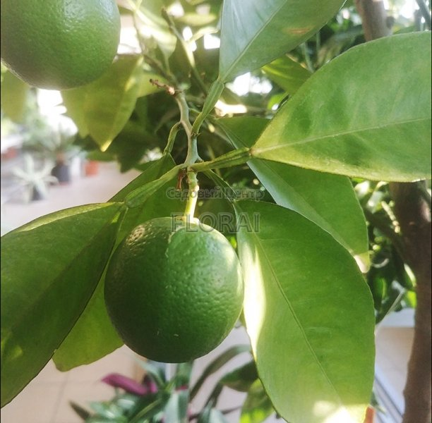 Апельсин sinensis Orange на среднем штамбе. Обхват ствола 40-50 см C250.  РАСПРОДАЖА!