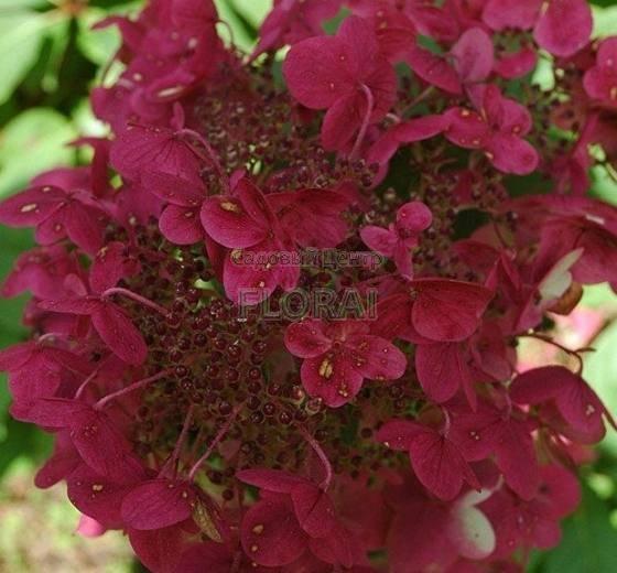 Гортензия метельчатая (Paniculata) Wim's Red С3