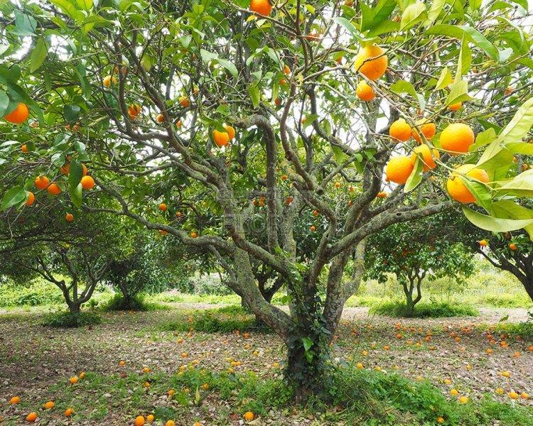 Апельсин sinensis Arangio. Обхват ствола 50-55 см. АКЦИЯ
