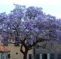 Павловния Имперская (Адамово дерево). Обхват ствола 10/12 см