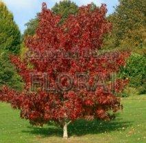 Ликвидамбар смолоносный (Амбровое дерево). Высота 200/250 Cм