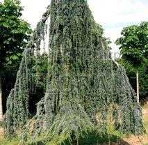 Кедр Атласский  Glauka Pendula. Высота 400/450 см.