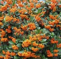 Пираканта Orange. Колонна 140 см. С20