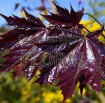 Клен остролистный (Acer platanoides) Faassen*s Black. Высота 1,4-1,6 м