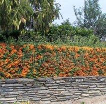 Пираканта оранжевая. Высота 130-150 см, С10