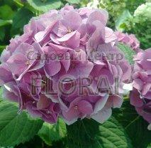 Гортензия крупнолистная / макрофилла розовая С5