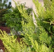 Купрессоципарис Лейланда Gold Rider. Высота 60-80 см, С5