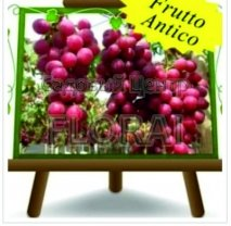 Виноград из Италии (под заказ)