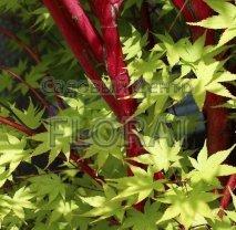 Клен пальмолистный  (Acer palmatum)  Sangokaku. Высота 1,75-2 м