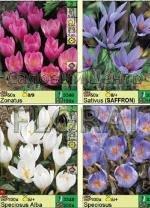 """Крокус осенний, серия """"Autumn Flowering"""" (71072) 4 сорта. Распродажа -50%. Цена за 1 шт."""
