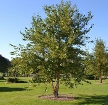 Береза черная (Betula nigra). Высота 350/400 см.