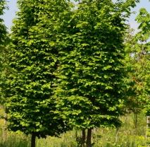 Граб обыкновенный (Carpinus betulus). Обхват ствола 10-12 см