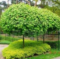 Клен остролистный (platanoides) Globosum. Обхват ствола 8-10 см