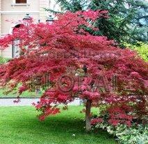 Клен пальмолистный (palmatum) Atropurpureum. Высота 100-125 см