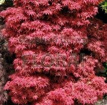 Клен пальмолистный (palmatum) Skeeter's Broom. Высота 200-250 см