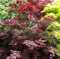 Клен пальмолистный (palmatum) Bloodgood Extra. Высота 1,5-1,75 м