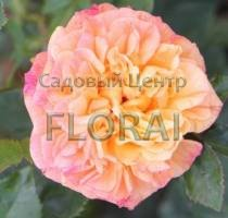 Роза плетистая Aloha. Высота 2,0 м