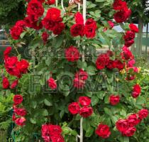 Роза плетистая Amadeus C5