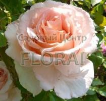 Роза плетистая Andre Le Notre. Высота 200-225 см