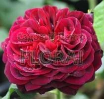Роза английская Astrid Grafin von Hardenberg