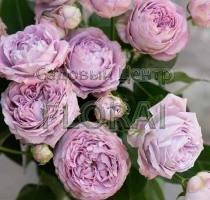 Роза спрей Blossom Bubbles