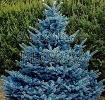 Ель колючая (pungens) Blue Diamond. Высота 225-250 см.