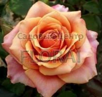 Роза чайно-гибридная Brandy