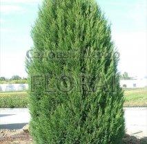 Купрессоципарис Лейланда. Высота 250/300 см. Extra-качество!