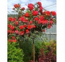 Роза Carmen на высоком штамбе 3/4St