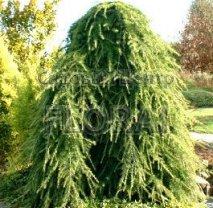 Кедр Гималайский (Deodara) Pendula. Высота 200/250 см