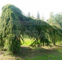 Кедр Гималайский Pendula. Высота 250-300 см