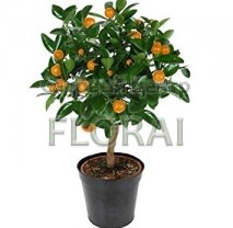Апельсин sinensis Orange на низком штамбе