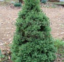 Ель канадская Glauca Conica. Высота 50+ см