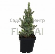 Ель Glauca Conica 40/50 см P17