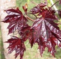 Клен остролистный (platanoides) Crimson King. Обхват ствола 10-12 см