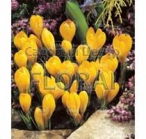 Крокус Yellow Mammouth (5372)