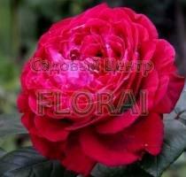 Роза кустовая  английская Des 4 Vents