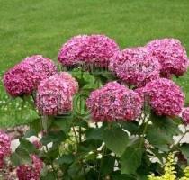 Гортензия древовидная Donker Rose Annabelle С5