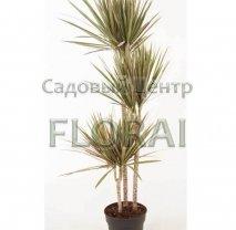 Драцена Marginata Bicolor 3 ствола (90-60-30 см). Высота с контейнером 150 см, Р24