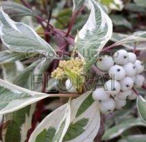 Дерен белый Elegantissima С3