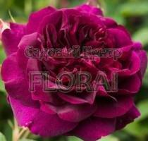 Роза английская Falstaff C6