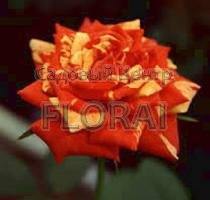 Роза патио Fidibus