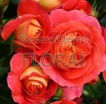 Роза Pendula St C15