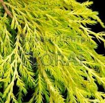 Можжевельник Пфитцериана Golden Saucer P13