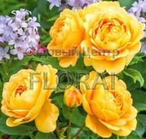 Роза английская Golden Celedration С6