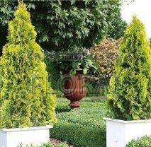 Туя западная Golden Smaragd 40/50 см P23