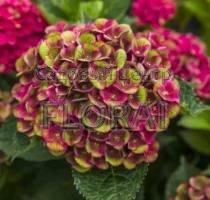 Гортензия macrophylla Grunes Gewolbe С5