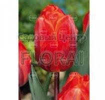 Тюльпан Hermitage (3379)